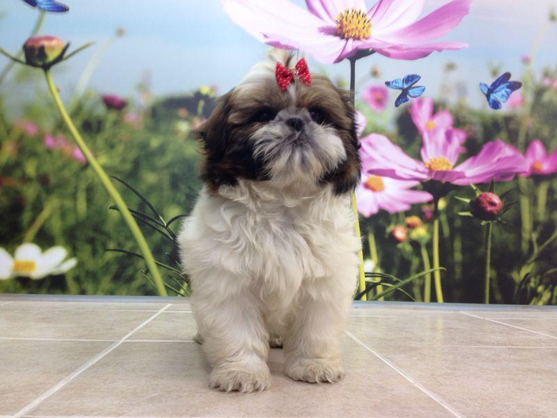 כולם חדשים סוגי כלבים |כלבים קטנים-שי צו LV-62