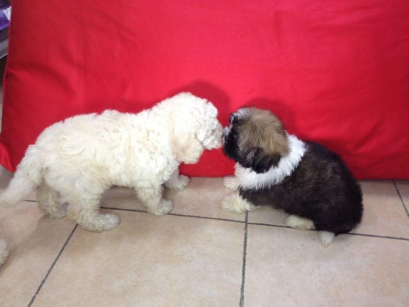 מעולה  כלבים גזעיים או מעורבים? מהן היתרונות וחסרונות? IN-71