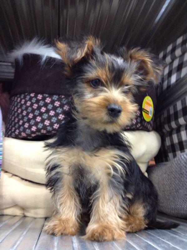 כולם חדשים מעוניין לקנות כלב גזעי מיוחד?גור כלבים למכירה SH-35