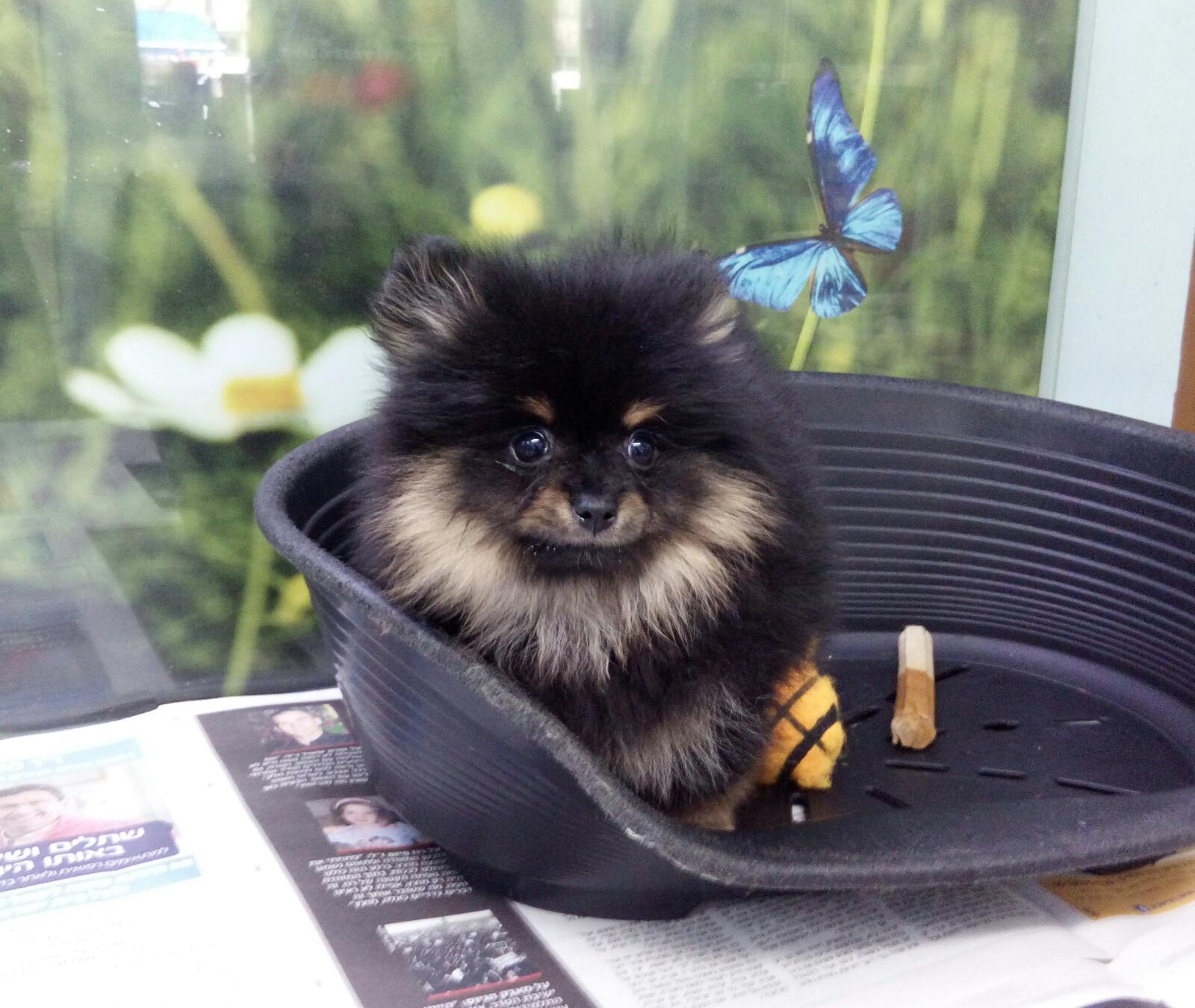למעלה גור פומרניין POMERANIAN |כלבים גזעיים קטנים-מול חיות מחמד DT-63