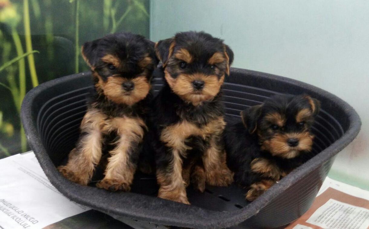 טוב מאוד גור יורקשייר-YORKSHIRE כלבים גזעיים קטנים-מולי חיות מחמד IL-22