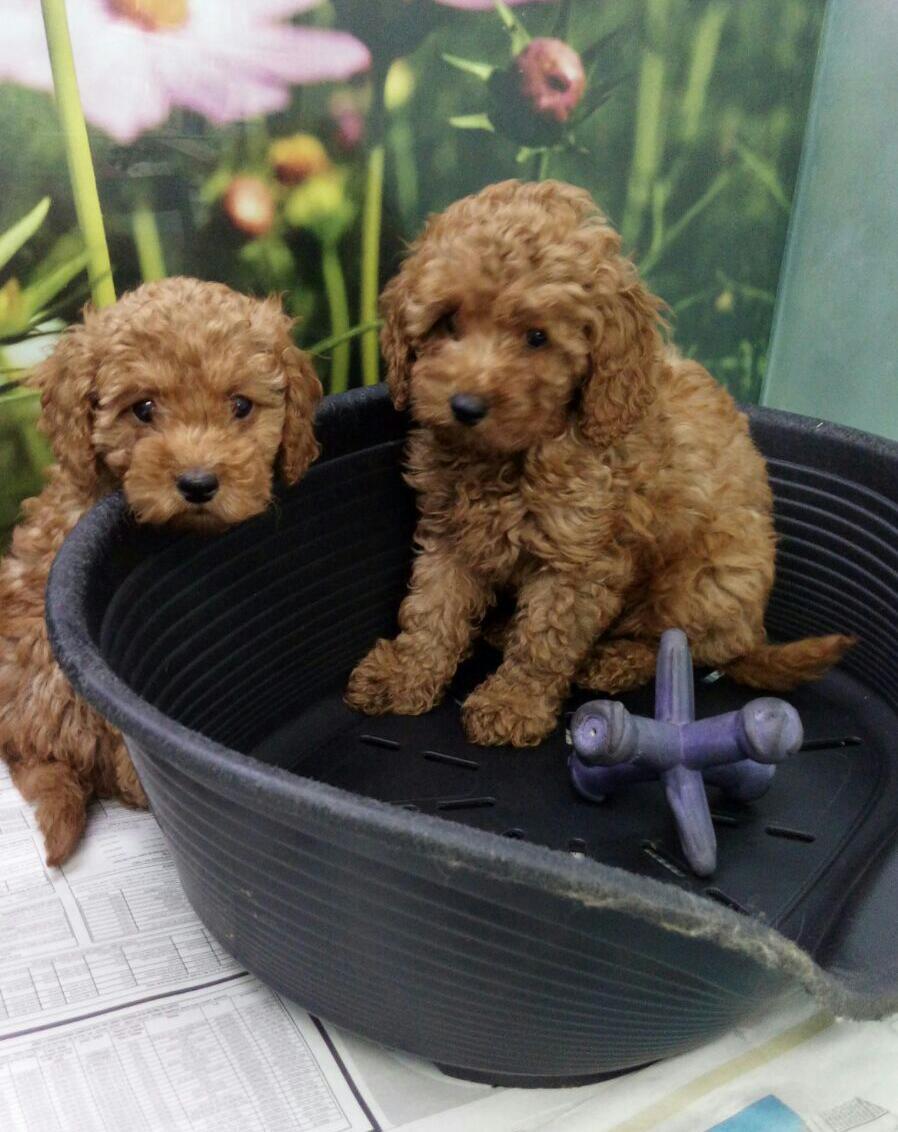 מפוארת גור פודל-POODLE כלבים גזעיים קטנים -מולי חיות מחמד WV-97