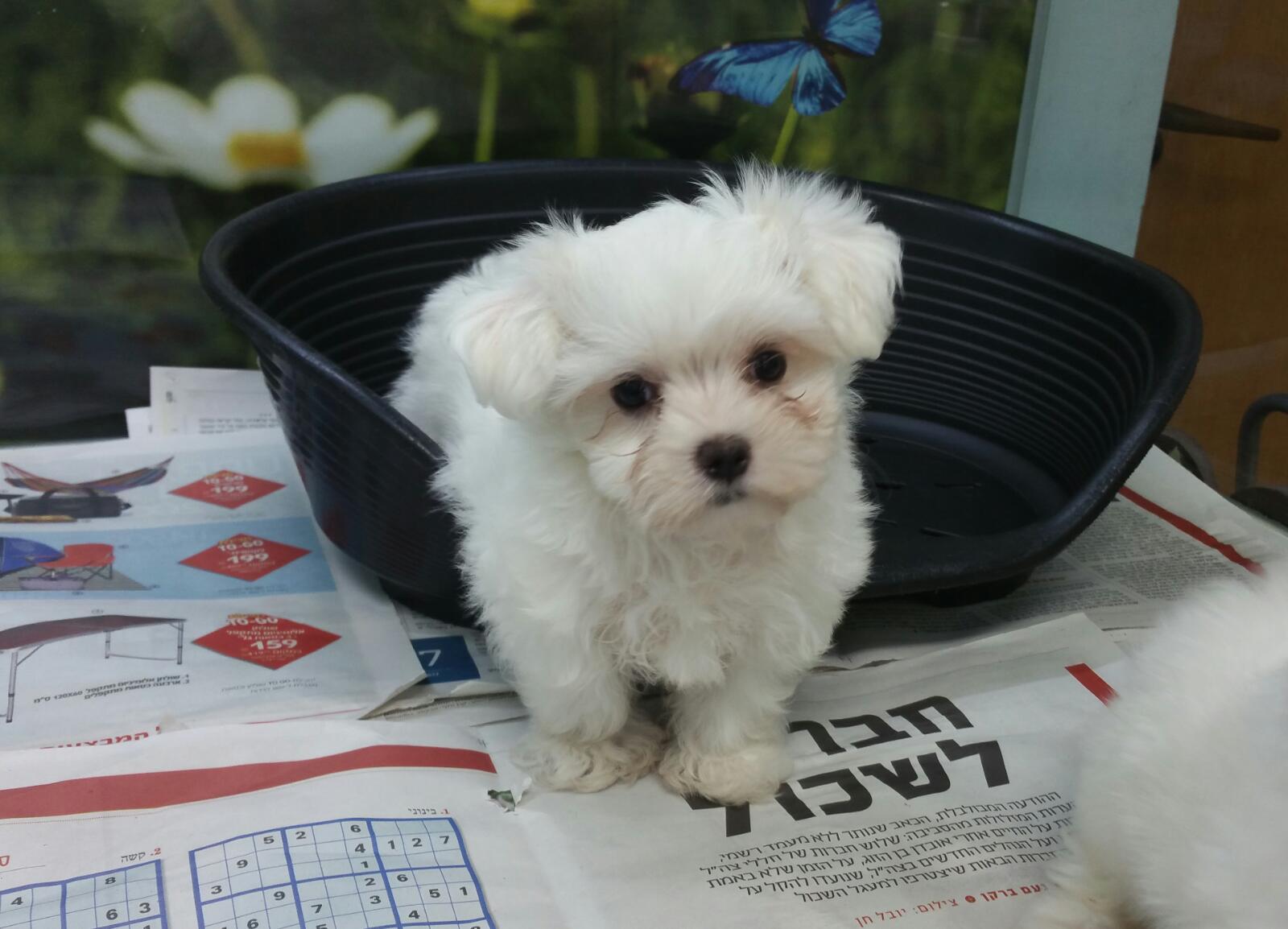 מעולה גור מלטז MALTESE |כלבים גזעיים קטנים-מולי חיות מחמד VT-92